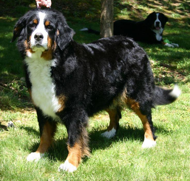 Bernese mountain dog ( Boiadeiro Bernês )