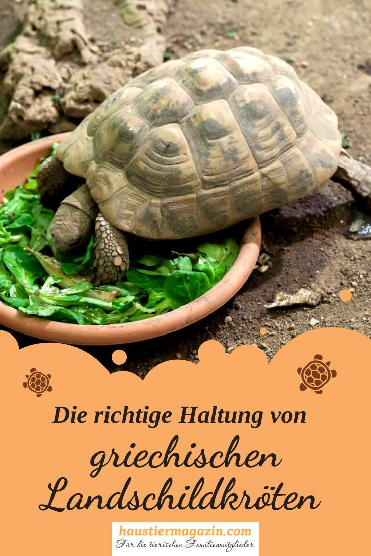 How To Properly Hold Greek Tortoises In 2020 Griechische Landschildkrote Landschildkroten Griechische Schildkrote