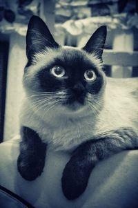 Сиамская(тайская) кошка.Найдена на Ст Злобина (Уфа)Нашла новых хозяев в Сипайлово