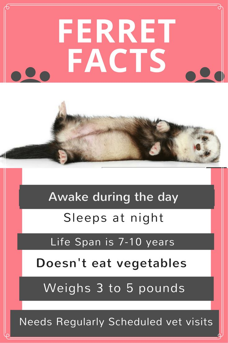 Ferret Facts  Did you know Ferrets sleep 18 hours a day, but when they are awake, they love to jump and play.  These cute furry creatures do not eat their vegetables and need a locked enclosure or they will try to escape.  Learn more about Ferrets on our website.  Also find the finest ferret food choices in our stores.