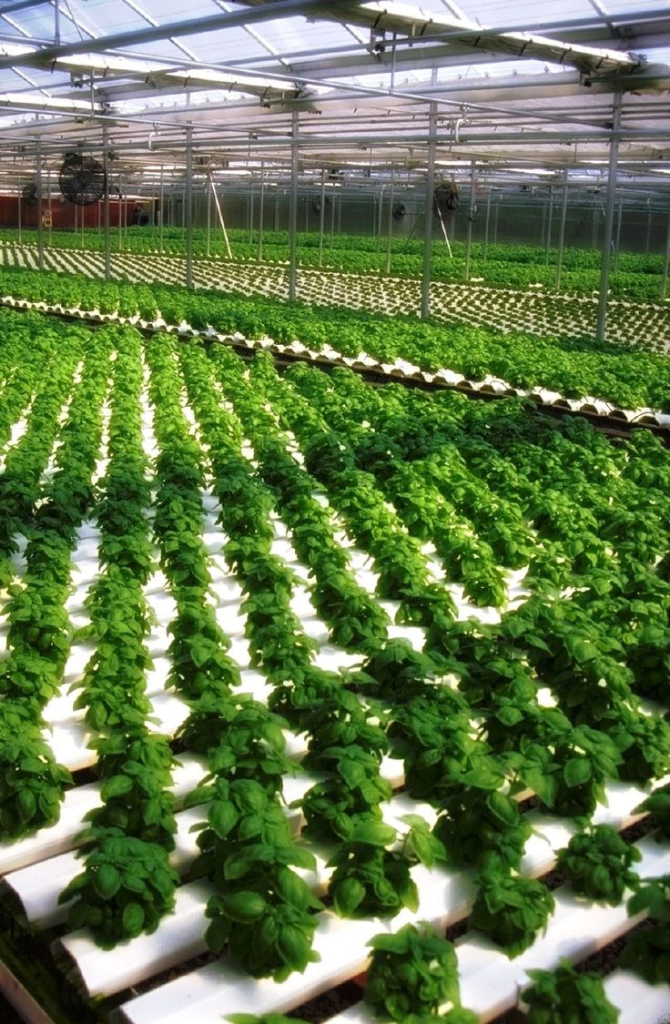 Bl system how many fish in a 55 aquaponics tank info - More Hydroponic Greenhouse Basil From Dick And Dee Bee S In