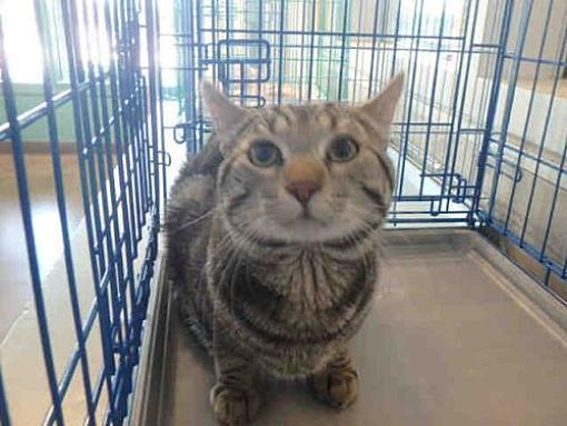Urgent Kill Shelter Chatsworth Ca Domestic Mediumhair Meet Jake A Cat For Adoption Pets Kitten Adoption Cat Adoption