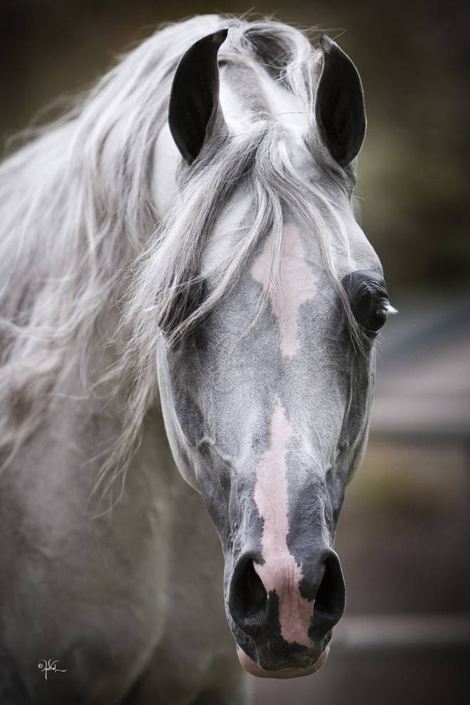 Arabian Beauty. What a pretty face with grey markings showing through the white…