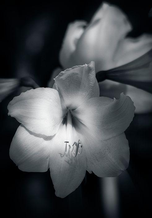 Fehér Amaryllis által Saija Lehtonen
