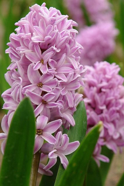 Hyacinth - Fragrant  flowers of the garden