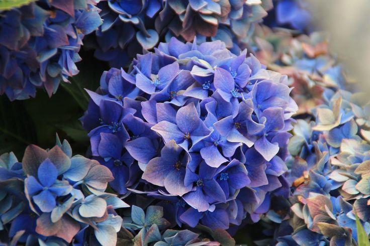 Faut-il tailler les fleurs des hortensias en automne? - Femmes d'Aujourd'hui