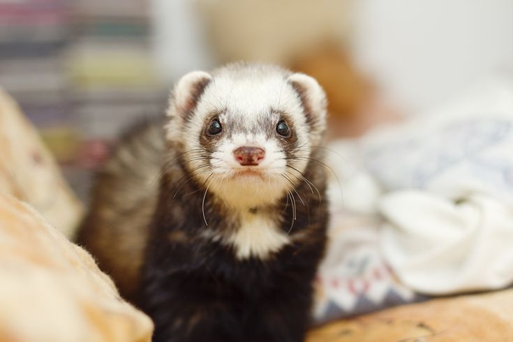 To make sure a beloved pet ferret lives longer while maintaining a sound quality of life, it would be beneficial for pet owners to know the types of diseases and other medical concerns their ferrets are prone to.