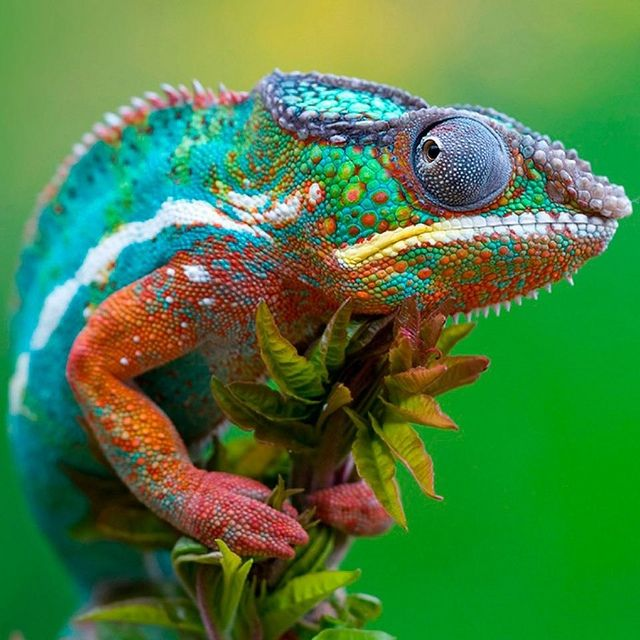 Colorful Iguana by Bill Kreston, via Flickr