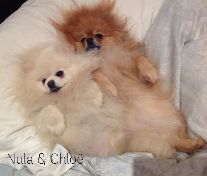 Bedtime for two pomeranians