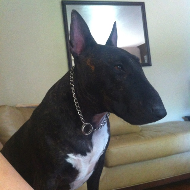 PacMan English bull terrier- now he is one handsome man!