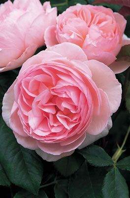 David Austin Rose 'Heritage'-I tried this rose in several areas, the blooms were lovely but much paler than this and not prolific.