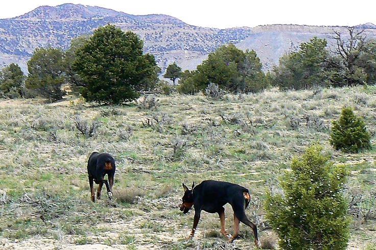 Dobermans -My life with my pack-OSIRIS & ISIS-Dobies on the hunt-Price, UT