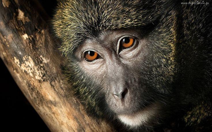 Małpa, Brązowe, Oczy