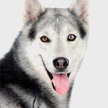 El Husky Siberiano   Perros.com