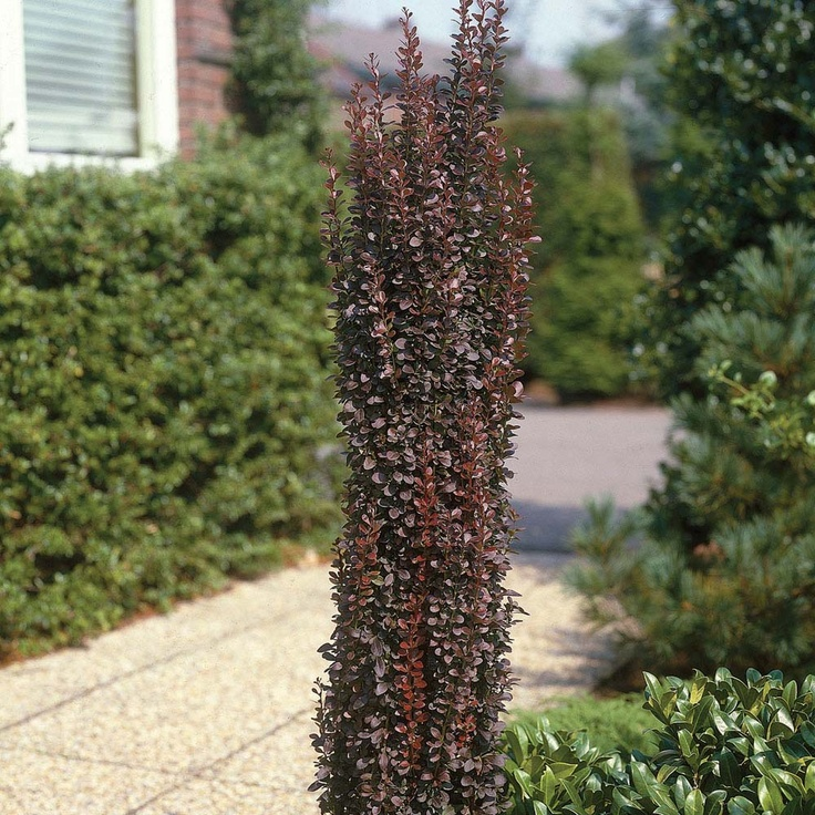 narrow growth shrubs | ... thunbergii f. atropurpurea 'Helmond Pillar' - Shrubs - Van Meuwen