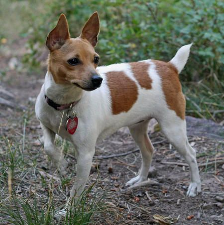 The Toy Fox Terrier was bred in the 1930s United States for killing rats.  Its size makes it just as happy in the city or country, but it maintains typical terrier stubbornness and alertness (read yapping).  Properly trained, Toy Fox alertness can be quite useful to the hearing-impaired, as the agile terrier will quickly communicate anything it hears into robust physical cues.  The Toy Fox handles heat well and requires little grooming.