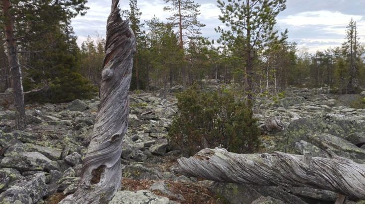 Trail of trees with Arctic Emotions -Rovaniemi, Lapland, Finland