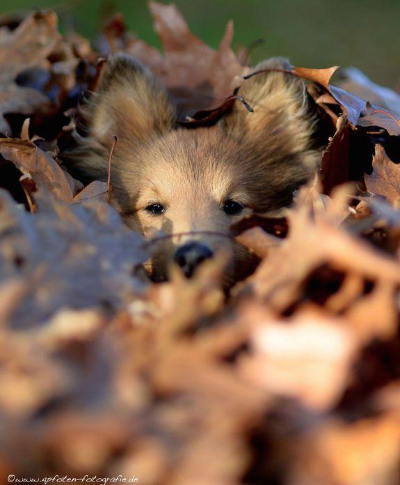 Sheltie hiding in leaves