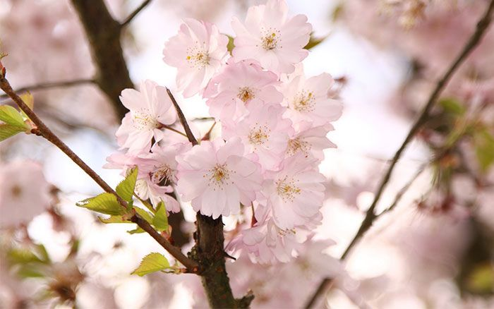 Prunus subhirtella autumnalis is an ornamental cherry tree that bears pale pink flowers from late autumn to early spring