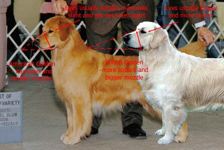 American Golden (L) vs British Golden Retrievers