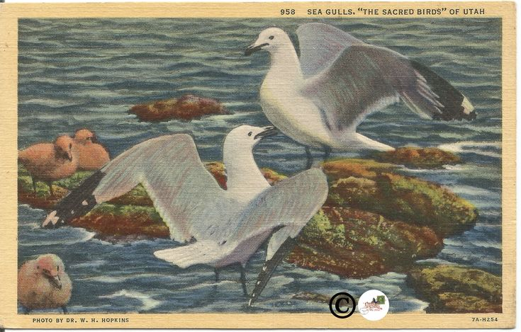 "Excited to share the latest addition to my #etsy shop: Sea Gulls, ""The Sacred Birds"" of Utah Vintage Linen Postcard Vintage Postcard Photo by Dr. W. H. Hopkins Curt Teich http://etsy.me/2oc6qiC #papergoods #blue #mothersday #white #vintagepostcards #postcard #postcards"