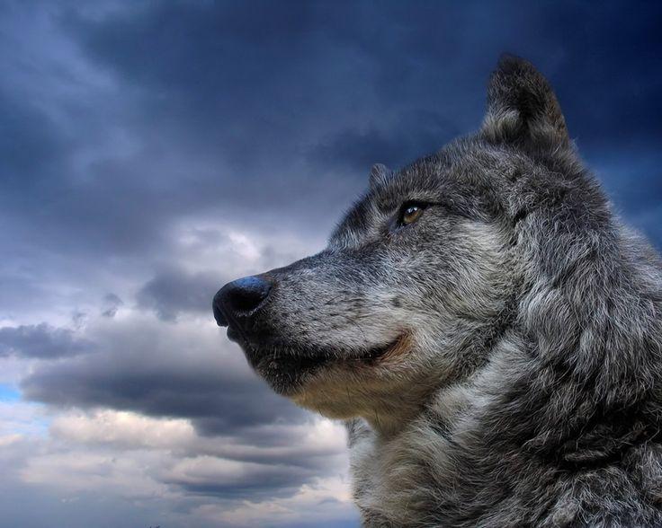 Como el Lobo Solitario que se pasa sus días solo con su sombra, pero acude al llamado de ayuda y en defensa de sus seres queridos... #Superior #LoneWolf