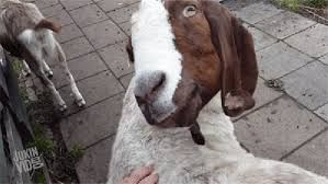 Картинки по запросу смешные забавные козы
