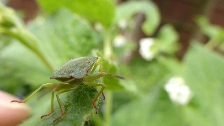 Green Shield Bug (Pentatomoidea) - Macro HD