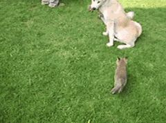 Two adopted foxes and their adorable step mom.