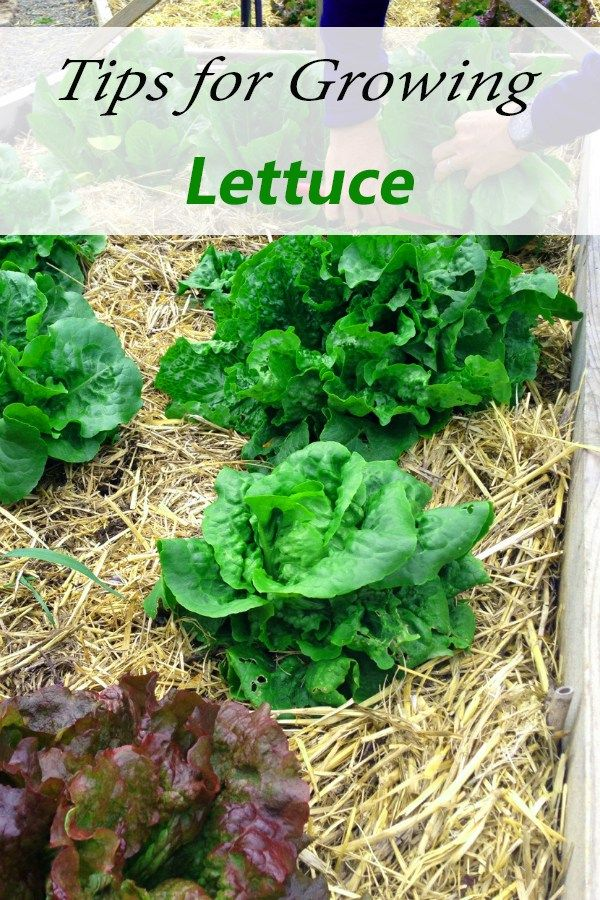 1000 ideas about growing lettuce on pinterest how to grow to grow and hydroponic systems. Black Bedroom Furniture Sets. Home Design Ideas