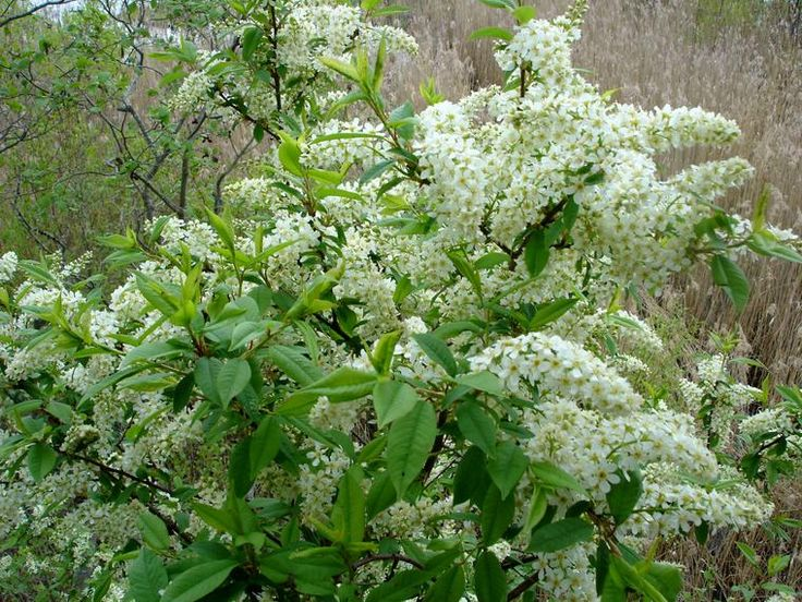 Tuomi - Prunus padus