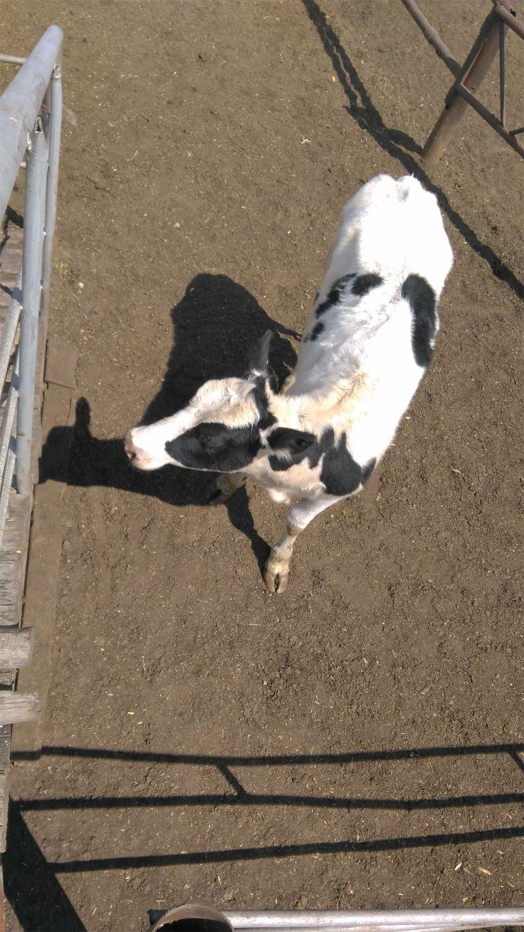 Продажа молочных пород крупно рогатого скота живым весом оптом. http://kamagro.com/prodazha-krs/prodazha-molochnykh-porod-krs/  #МОЛОЧНЫЙ СКОТ #КРС молочного направления представлен мясо молочной симментальской и молочной красно-степной породами. Молочная продуктивность коров составляет 16-25 литров в день. #Симментальская порода КРС от 140 до 550 #Красная-степная порода КРС от 140 до 500 #Голштинская порода КРС от 140 до 550  #Черно пестрая порода КРС от 140 до 500  #Продажа крупно рогатого…