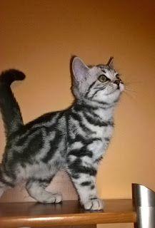 Szuszi Cat Kennel: Új cicáink
