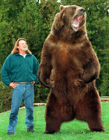"""Bart the bear, who was trained by Doug and Lynn Seus, is an Alaskan Kodiak Bear, born in 1977 and died in 2000 at the age of 23. He grew to 9'6"""" and weighed 1500 pounds"""
