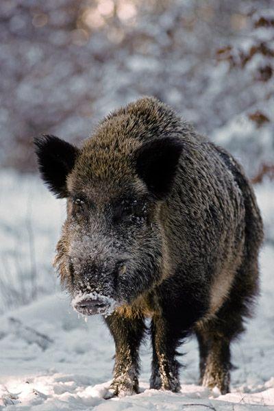 Cool Wildschweinkeiler im Winterwald beobachtet aufmerksam den Fotografen Schwarzkittel Wildschwein Sus scrofa