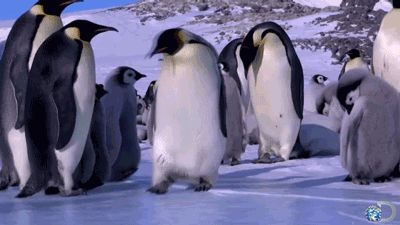 If you're ever feeling hopelessly awkward, watching penguins try to get around is a great self-esteem booster.