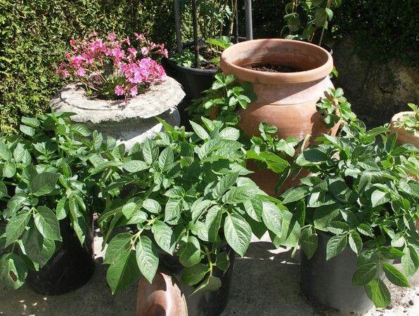 Odla potatis i hink