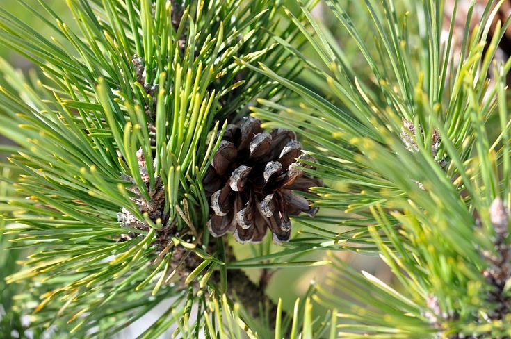 ISA debate cultura do pinheiro manso e do pinhão | Revista Frutas Legumes e Flores