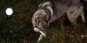 Tschechoslowakischer Wolfshund bei Nacht