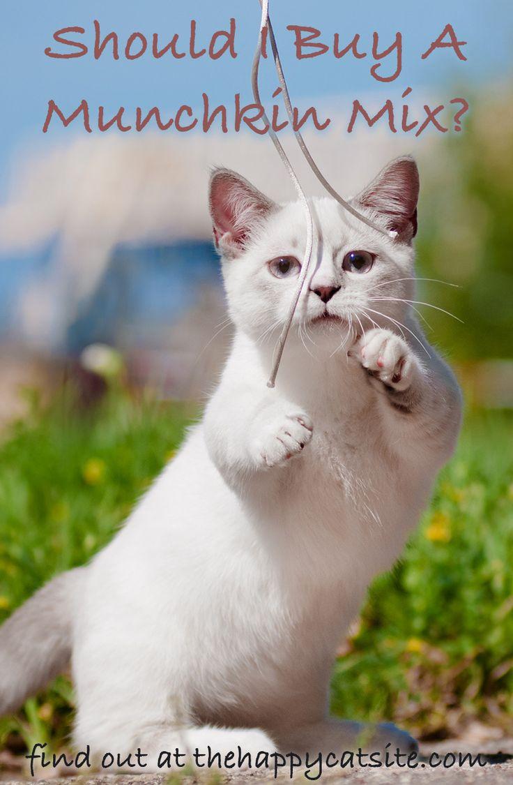 Skookum-Katzen entstehen durch Mischen von Munchkin-Katzen mit LaPerms. Erfahren Sie mehr über …   – Animals