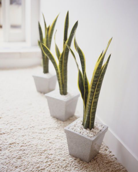 Snake Plants are incredibly tough and can survive nearly any environment. The succulent has toughleaves that can tolerate low light (though it'll thrive most in medium or bright light). Water occasionally, allowing the soil to dry between waterings. The plant grows best in typical indoor temps — between 60 to 85 degrees Fahrenheit.