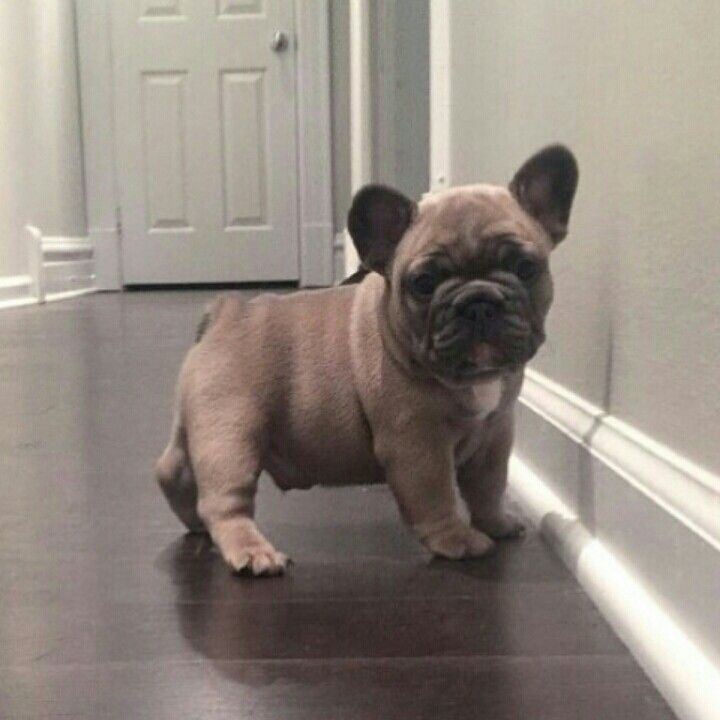 Super Mario Team S Mucke French Bulldog Puppies Puppies Bulldog Puppies