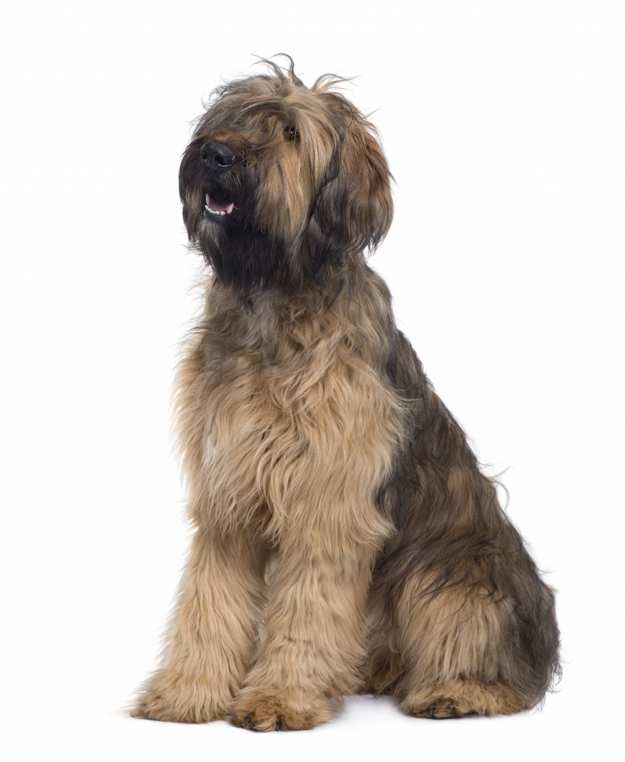 The Briard | 10 Big Fluffy Dog Breeds That Are Absolutely Beautiful  See more fluffy dogs here: http://dogbreedsjournal.com/fluffy-dog-breeds/