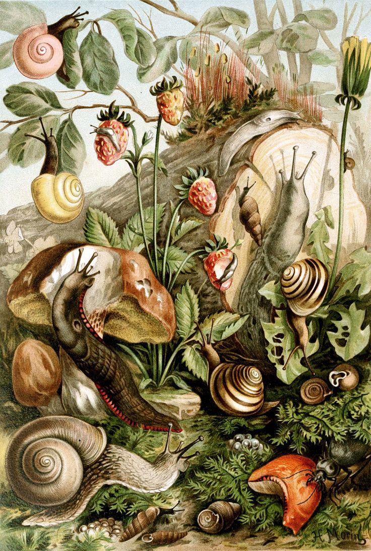 Snails and slugs, vintage illustration 1893 SourceThe royal natural history. http://en.wikipedia.org/wiki/File:Pulmonata.jpg