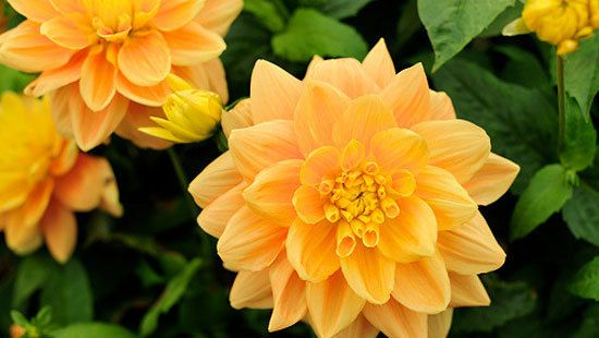 How to grow dahlias: How to grow beautiful dahlias to bring colour to your garden in winter.