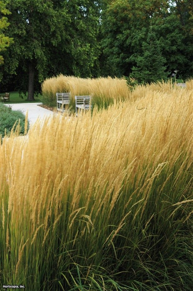 Feather Reed Grass (Calamagrostis x acutiflora 'Karl Foerster') Gorgeous cool-season grass that looks good all summer. Stunning in masses and along walkways.