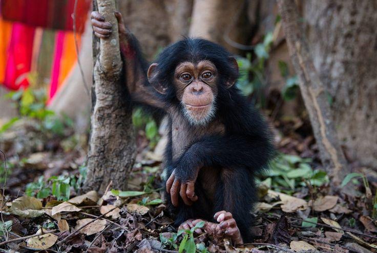 http://www.zeit.de/wissen/umwelt/2016-10/schimpansen-auswilderung-guinea-chimpanzee-conservation-centre-fs?wt_zmc=nl.int.zonaudev.zeitverlag_zeitbrief_zeit_brief_46_normal.nl_ref.zeitde.bildtext.link.20161102