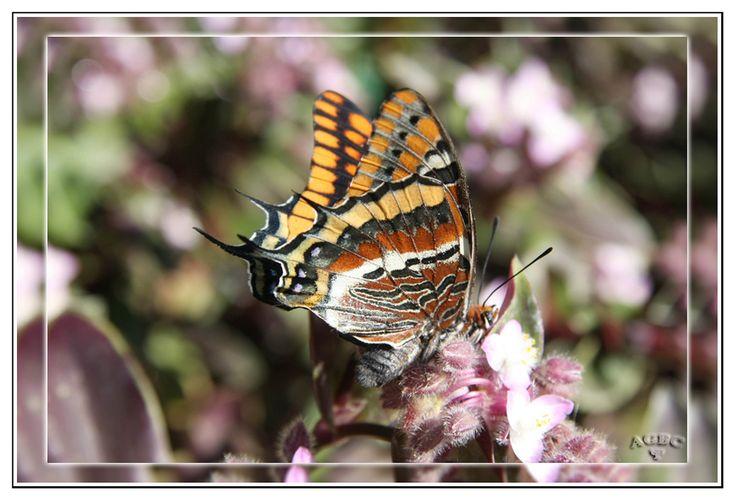 Mariposa roja (parecida a la Monarca)