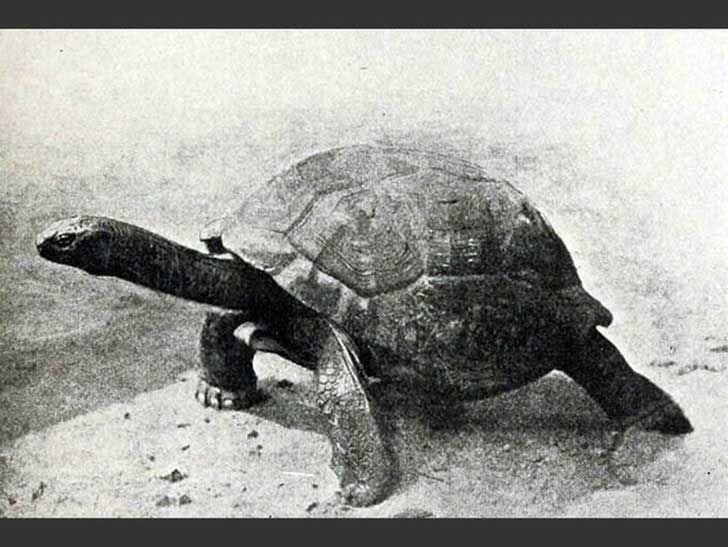 Exista controversia si está completamente extinta o solo en su hábitat natural.  Durante el siglo 19,  fue llevada a la extinción por la caza. Eliminada de su hábitat en 1840, vivía cerca de pantanos y riachuelos, alimentándose de vegetación. Sin embargo, en cautiverio, existe esperanza de que unas doce tortugas en la isla La Digue sean,de esta especie. Aún más, se cree que una tortuga, que se sospecha tiene más de 180 años y vive en Santa Elena también es de la especie.