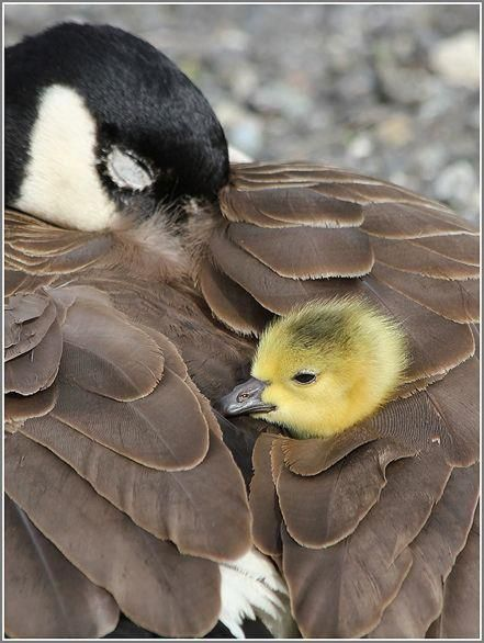 Baby Canada Goose, sweetest picture of mama and her tiny baby snuggling!  So darling!